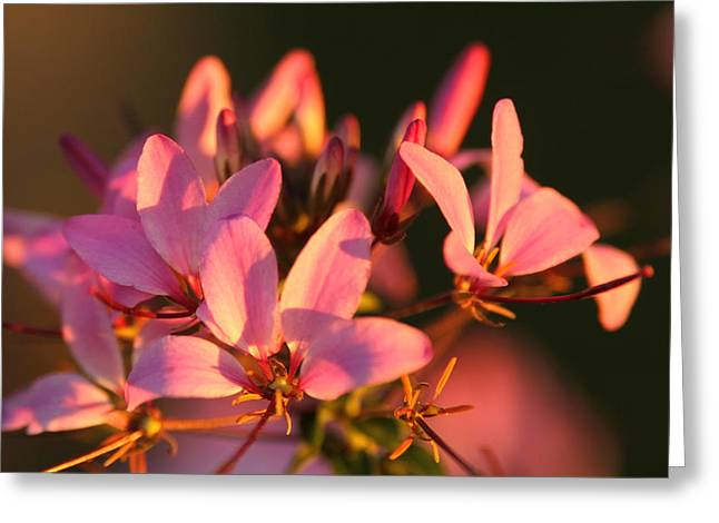 Pink Morning Greeting Card by Jose Rodriguez