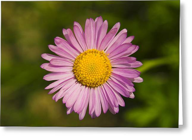 Balsam Greeting Cards - Pink Mountain Daisy Greeting Card by Greg Vaughn - Printscapes