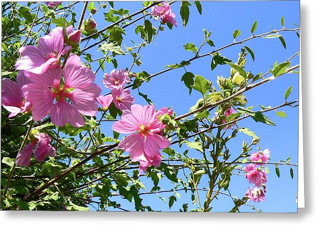 Pink Musk Mallow Greeting Card by Pamela Patch