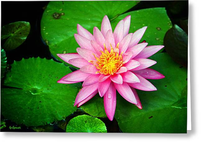 Pink Nymphaea Greeting Card by Lisa  Spencer