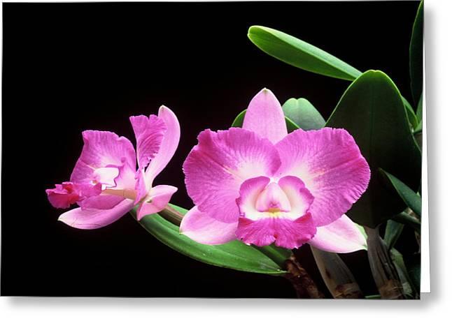 Cattleya Greeting Cards - Pink Orchid - Cattleya Greeting Card by Jacob Mau