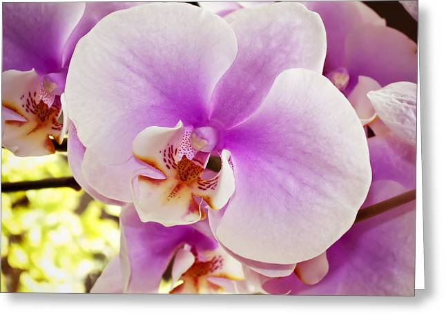 Close Focus Floral Greeting Cards - Pink Orchid Greeting Card by Joe Carini - Printscapes