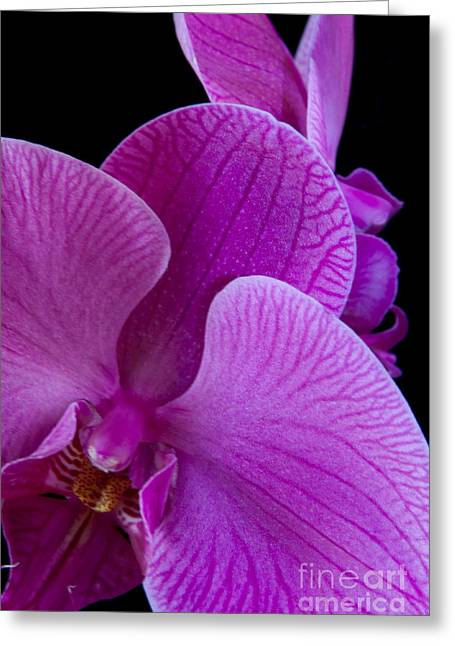 Flower Photo Greeting Cards - Pink Orchid V Greeting Card by Dana Kern
