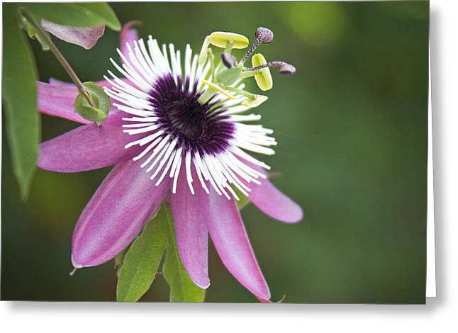 Passiflora Greeting Cards - Pink Passion Flower Greeting Card by Glennis Siverson