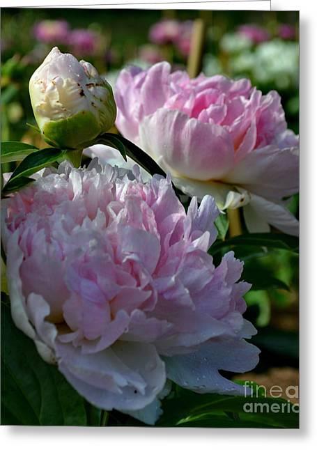 Eva Thomas Greeting Cards - Pink Peonies-40 Greeting Card by Eva Thomas