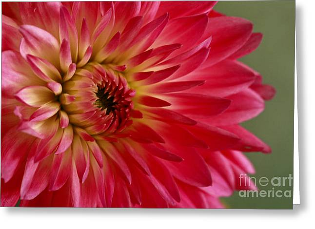 Fushia Greeting Cards - Pink Perfection Dahlia Greeting Card by Inspired Nature Photography By Shelley Myke