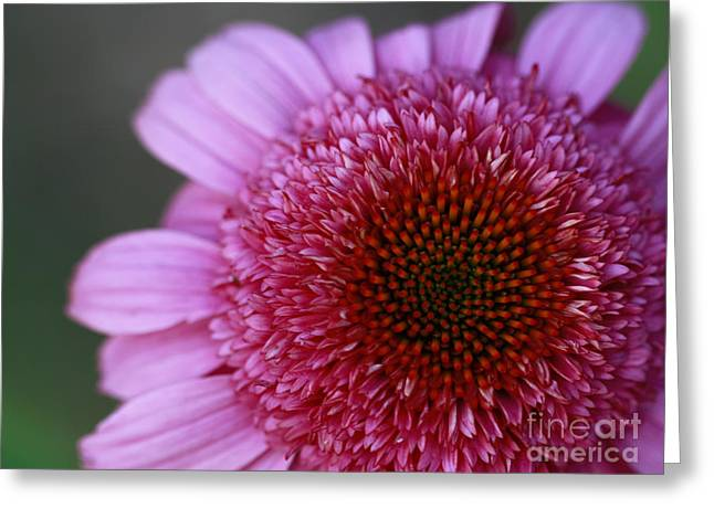 Shelley Myke Greeting Cards - Pink Perfection Greeting Card by Inspired Nature Photography By Shelley Myke