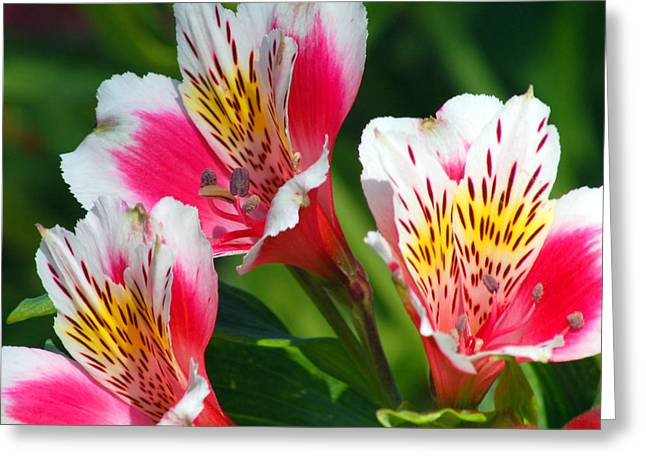 Peruvian Lily Greeting Cards - Pink Peruvian Lily 2 Greeting Card by Amy Fose