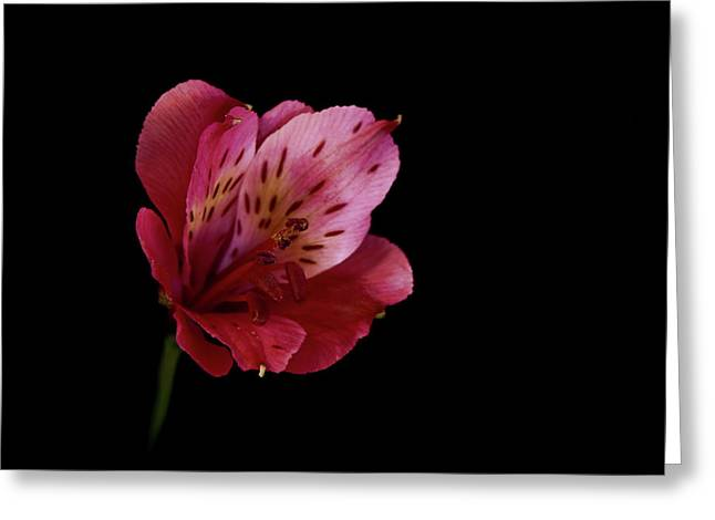 Lily Of The Incas Greeting Cards - Pink Peruvian Lily Greeting Card by Jason Blalock