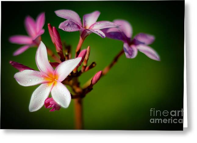 Tropical Photographs Greeting Cards - Pink Plumerias Greeting Card by Kelly Wade