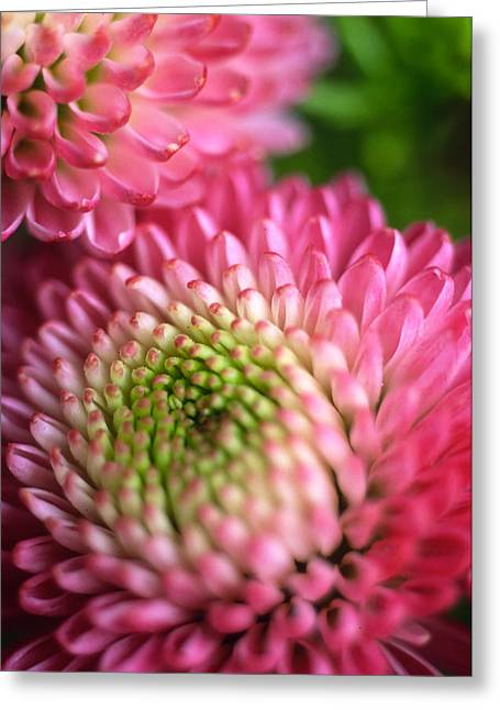 Pink Flower Prints Photographs Greeting Cards - Pink Pompons Greeting Card by Kathy Yates