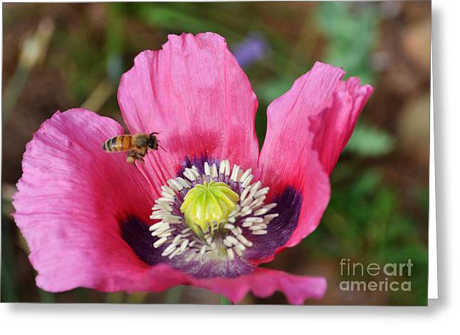 Whiteoak50 Greeting Cards - Pink Poppy and Bee Greeting Card by Eva Thomas