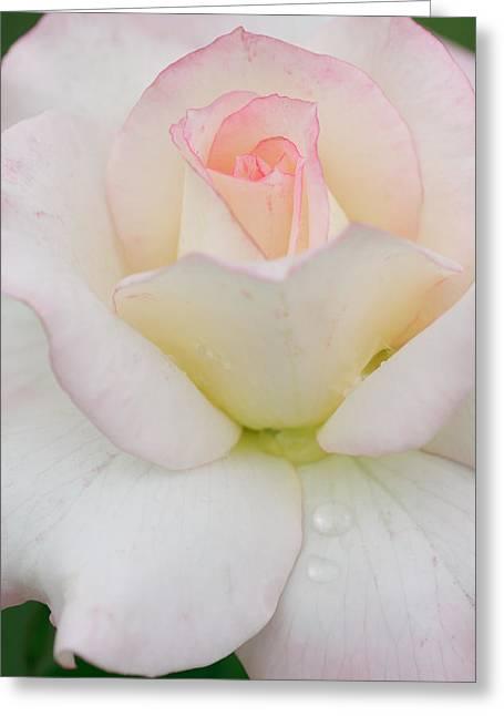 Pink Rim White Rose Greeting Card by Atiketta Sangasaeng