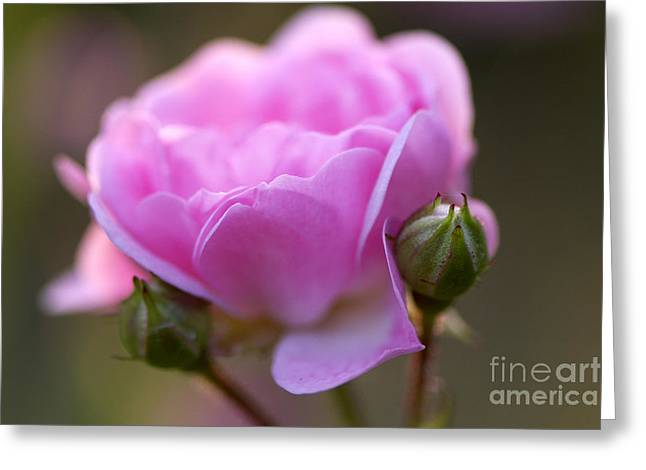Rose Petals Greeting Cards - Pink Rose 2 Greeting Card by Sharon  Talson