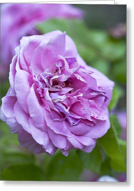 Violet Art Greeting Cards - Pink Rose Flower Greeting Card by Frank Tschakert