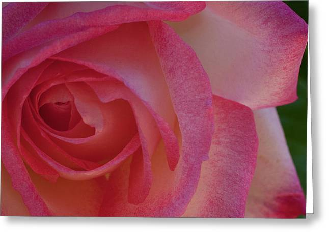 Pink Flower Prints Greeting Cards - Pink Rose Greeting Card by Gilbert Artiaga
