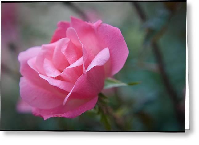 Pink Rose Greeting Card by Kelly Rader