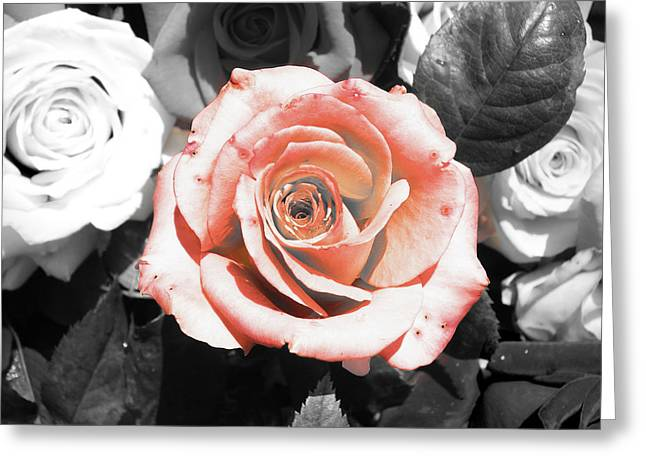 Blooming Greeting Cards - Pink rose Greeting Card by Sumit Mehndiratta