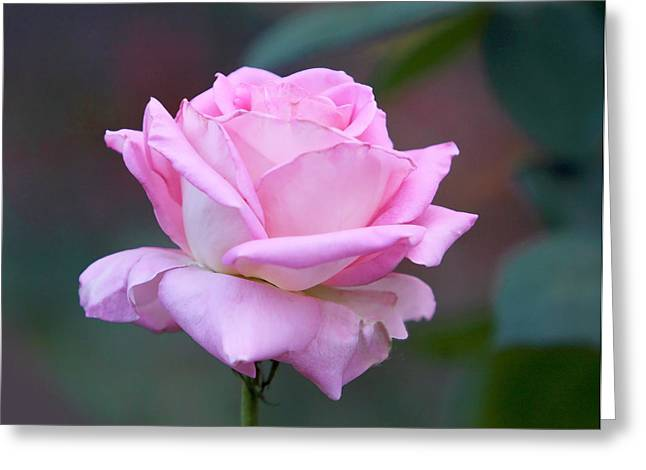 Green Burgandy Greeting Cards - Pink Rose with Soft Leaves Greeting Card by Linda Phelps