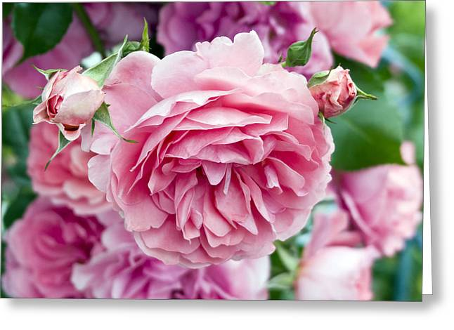 Pink Roses Greeting Card by Frank Tschakert