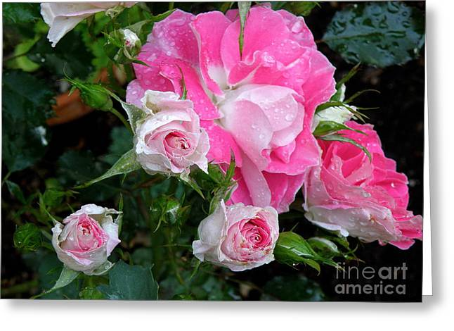 Searcy Greeting Cards - Pink Roses Greeting Card by Tanya  Searcy