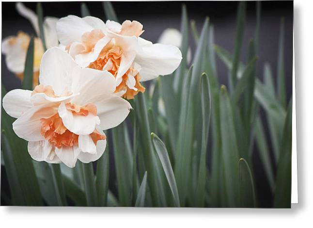 Unrequited Greeting Cards - Pink Ruffle Daffodils Greeting Card by Teresa Mucha