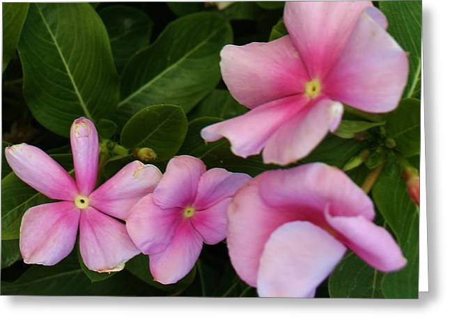 Amatuer Greeting Cards - Pink Softness Greeting Card by Bruce Bley
