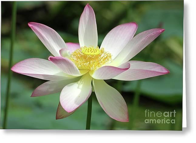 Graceful Lotus Greeting Cards - Pink Tipped Lotus Greeting Card by Sabrina L Ryan