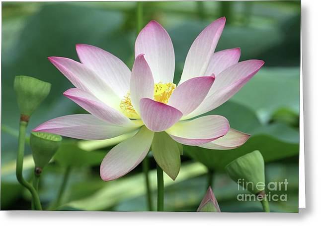 Graceful Lotus Greeting Cards - Pink Tipped White Lotus Greeting Card by Sabrina L Ryan