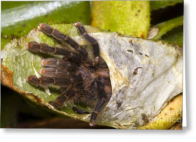 Big Spider Greeting Cards - Pink Toe Tarantulas Greeting Card by Dante Fenolio