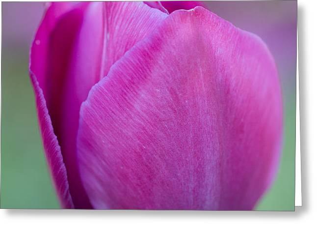 Pink tulip flower Greeting Card by Frank Tschakert