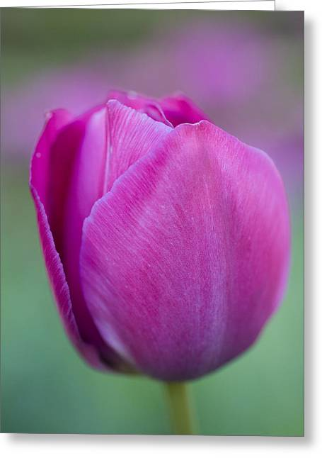 Pink Tulip Greeting Cards - Pink tulip flower Greeting Card by Frank Tschakert