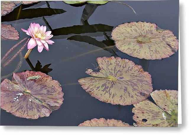 Water Lilly Greeting Cards - Pink Water Lilly Greeting Card by Forest Alan Lee
