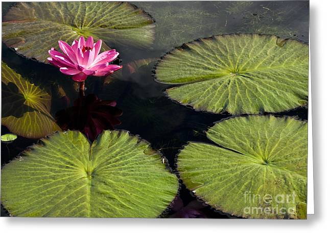 Water Lilly Greeting Cards - Pink Water Lily I Greeting Card by Heiko Koehrer-Wagner