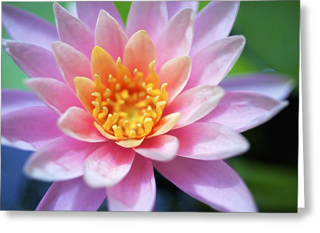 Pink Water Lily Greeting Card by Kicka Witte