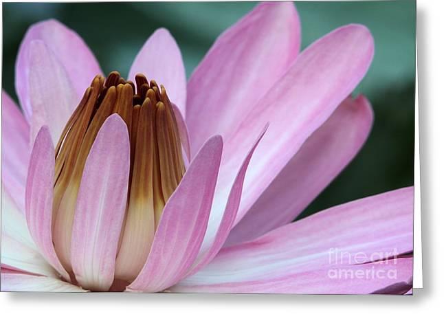 Pink Water Lily Macro Greeting Card by Sabrina L Ryan