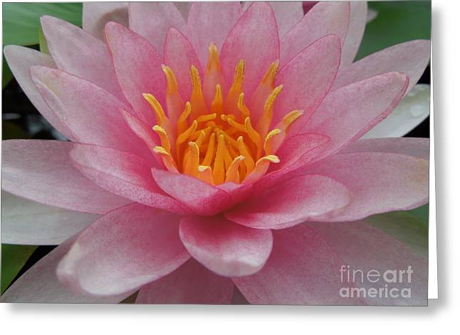 Pink Water Lily Greeting Card by Renee Trenholm