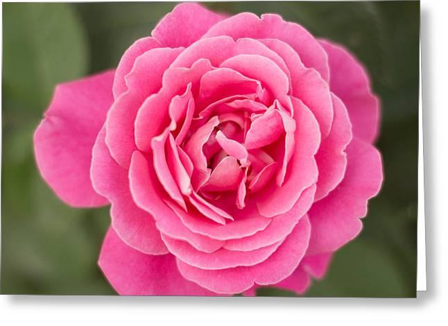 Milos Dacic Greeting Cards - Pinkish flower top view Greeting Card by Milos Dacic