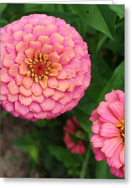Zinna Greeting Cards - Pinks the Color Greeting Card by Bruce Bley