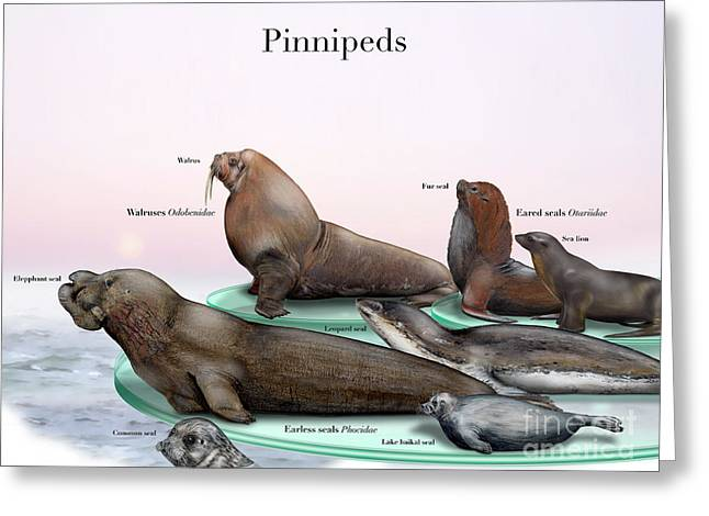 Sea Lions Drawings Greeting Cards - Pinnipeds  - Seals  - Walruses Odobenidae - Eared seals Otariidae -  Earless seals Phocidae Greeting Card by Urft Valley Art