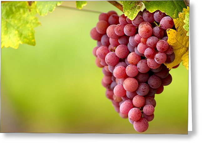 Bunch Of Grapes Photographs Greeting Cards - Pinot Noir Grapes Greeting Card by Jeremy Walker