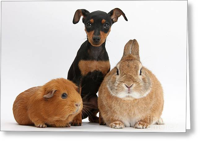 Doberman Pinscher Puppy Greeting Cards - Pinscher Puppy With Rabbit And Guinea Greeting Card by Mark Taylor