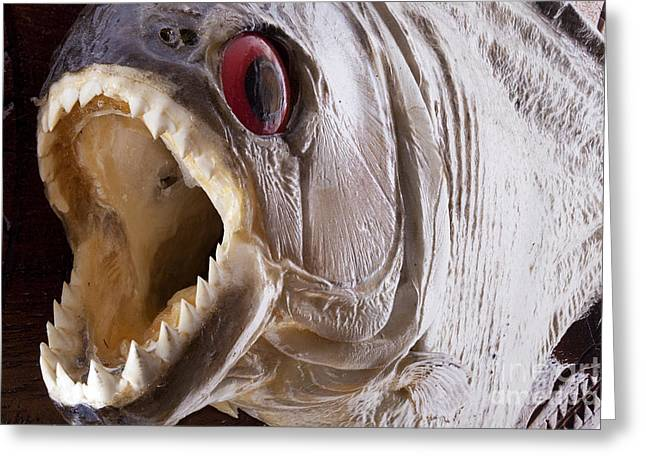 Eyes Wide Open Greeting Cards - Piranha fish close up Greeting Card by Simon Bratt Photography LRPS