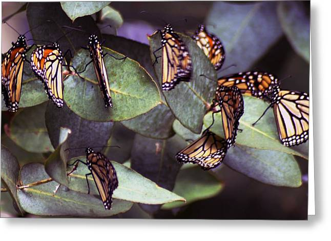 Buterfly Greeting Cards - Pismo Monarchs Greeting Card by Gary Brandes