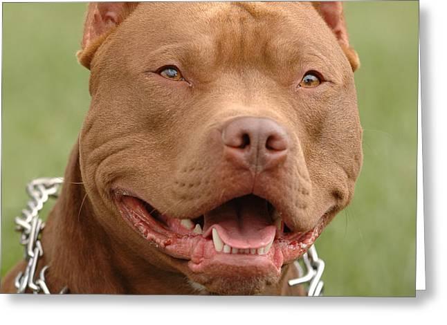 Pitbull red nose dog portrait Greeting Card by Waldek Dabrowski