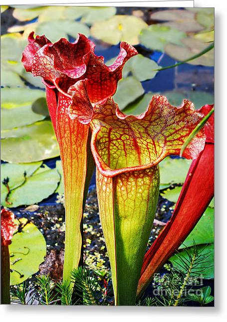 Pitcher Plant - Carnivorous Plant Greeting Card by Kaye Menner