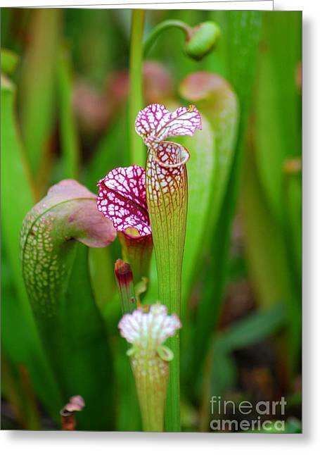 Chicago Botanic Garden Greeting Cards - Pitcher Plants I Greeting Card by Nancy Mueller