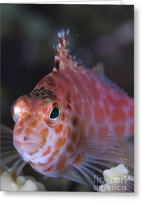 Kimbe Bay Greeting Cards - Pixy Hawkfish, Kimbe Bay, Papua New Greeting Card by Steve Jones