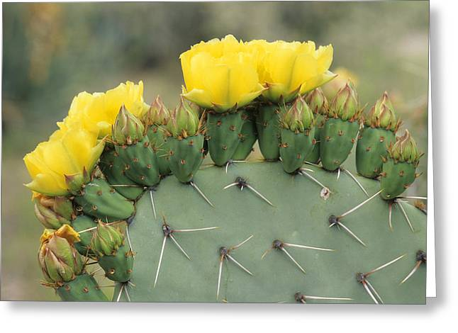 Plains Prickly Pear Blossoms Greeting Card by Rich Reid