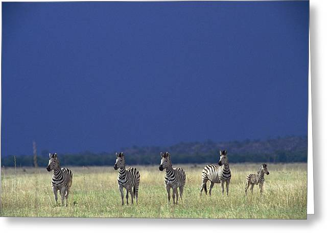 Plains Zebra Equus Burchelli In Chobe Greeting Card by Beverly Joubert
